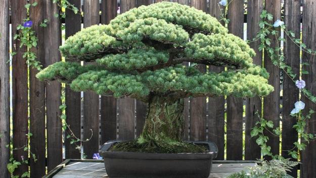 Yamaki 390 year old tree a Hiroshima survivor